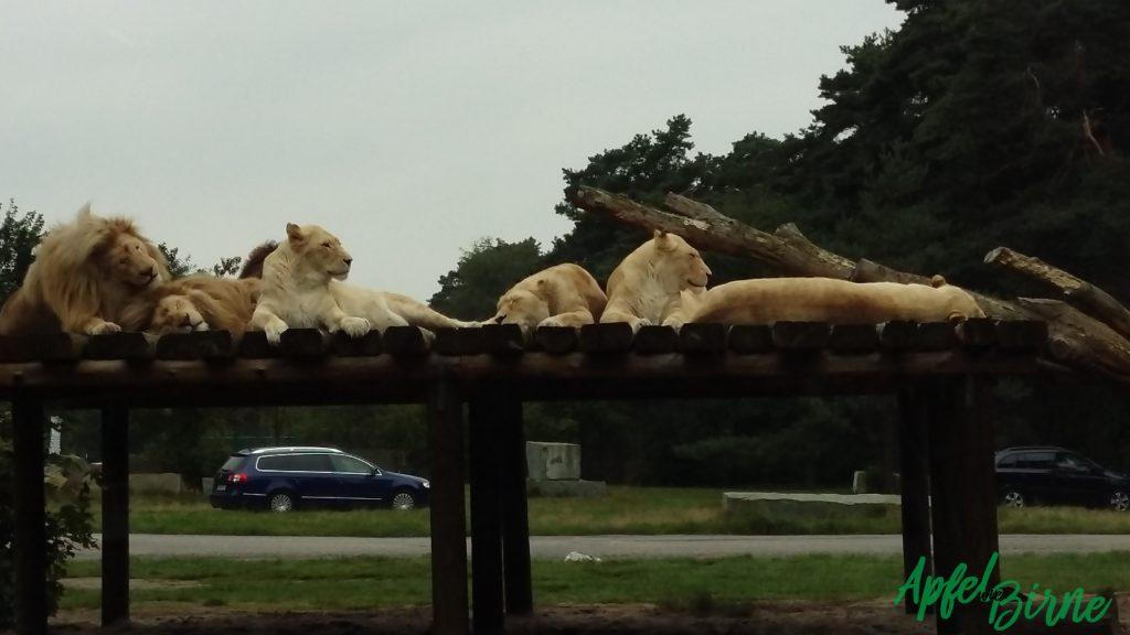 Safaripark Tiger & Löwen